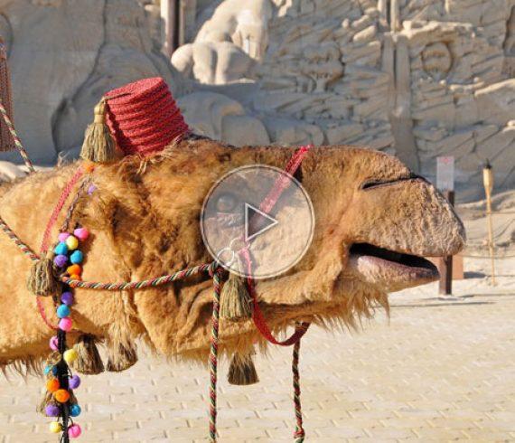 chameau déambulatoire, chameau déambulation, animal, animal en déambulation, sable, désert